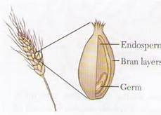 Wheat Anatomy