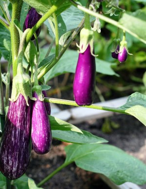 Eggplants Growing